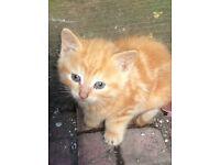 Rare female ginger kitten