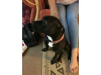 18 mnth old staffie, lovelly boy, great with children of all ages