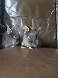 1 baby lionheads rabbits forsale