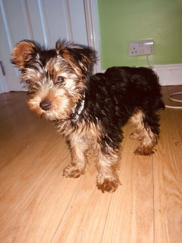 Beautiful 3months Old Yorkshire Terrier In Harrow London Gumtree
