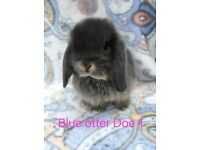Beautiful mini lop rabbits bunny bunnies