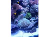 6in male crosshatch trigger marine fish tank