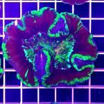 HRT Corals