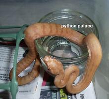 Albino Darwin Carpet Pythons Coen Cook Area Preview