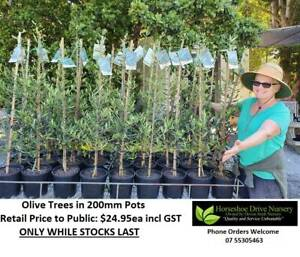 Olive Trees Manzanillo  - Absolute Quality Plants Tree Mudgeeraba Gold Coast South Preview