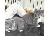 Pretty blue kittens