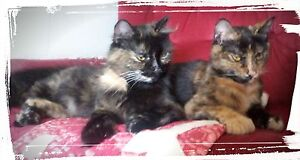 need temporary foster home for 2 cats