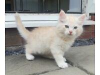 Stunning GCCF Pedigree Siberian Red Silver Tabby kitten for sale