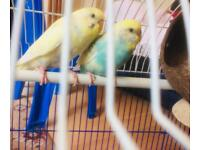 Baby Male and Female Budgerigar