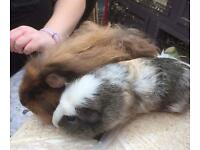 Male adult guinea pigs for sale