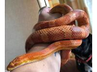 3yr old female cornsnake