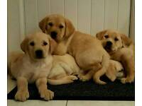 Chunky strong golden labrador pups £375