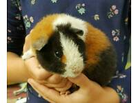 2 little boy pure bred Teddy Guinea pigs for sale