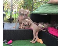 Weimaraner puppies 12 weeks old 5 boys K.C. REG. silver grey Home bred & reared with Mum & Dad £1000