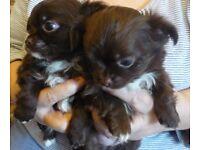 Chocolate longcoat Chihuahua pups