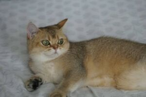 Pure Breed British Shorthair cat TICA registered.
