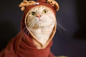 DSH cross Siamese ginger tabby cat needing forever home Runcorn Brisbane South West Preview