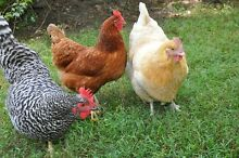Chickens for Sale Yandina Maroochydore Area Preview