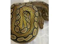 Motley reticulated python