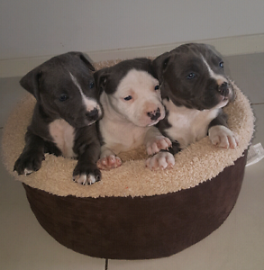 Blue American Staffy pups for sale Lake Haven Wyong Area Preview