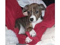 Beautiful Terrier x staff puppies 8 weeks and ready to go .