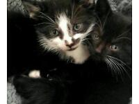 2x kittens for sale