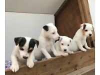 PARSON JACK RUSSEL TERRIER PUPS FOR SALE IN LEICESTERSHIRE.