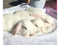 Dwarf Lop Eared Bunnies.