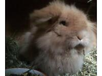 Orange Lop Doe Rabbit