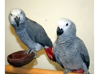 Healthy Hand tame baby African grey Congo Talking Parrot