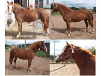 Horses For Sale Selection of Registered Welsh Sec D Youngsters