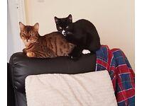 male bengal cat kc reg and male tom cat