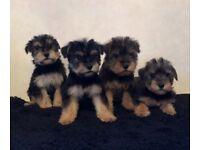 Schnauzer cross Yorkshire terrier puppies
