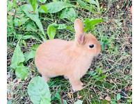 Lovely Beautiful pure breed netherland dwarf baby rabbit