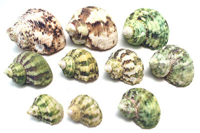 Hermit Crab Shells Shell - 10 Hermit Crab Changing Shell Set -Small 3/8