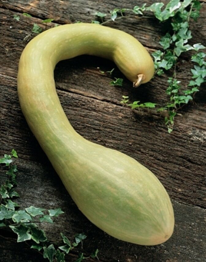 l gumes courgette tromboncino albenga 20 graines zucchini ebay. Black Bedroom Furniture Sets. Home Design Ideas