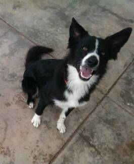 Border Collie x Kelpie Whyalla Norrie Whyalla Area Preview