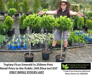 Topiary Ficus Emerald Wonderful Feature Plant Mudgeeraba Gold Coast South Preview