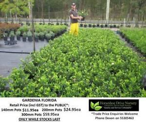 Gardenia Florida - Lovely Fragrance Mudgeeraba Gold Coast South Preview