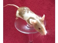 3 female mice and glass tank