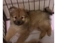 Pomeranian Puppies Boys - Pure Breed
