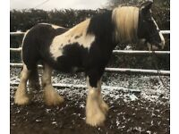 Heavy weight cob mare
