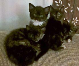 Gorgous Tortoishell & 1 Black & White Kittens READY NOW !