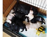 Ready Now, KC reg pug puppies