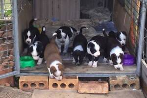 Border Collie / Kelpie x Cattle dog Puppies Rockhampton Surrounds Preview