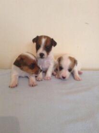Gorgeous tri jackrussel puppy's
