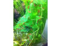 Red cherry shrimps - 15 shrimps for £10 or £1 each