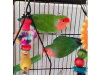Lovebirds, cage and stand