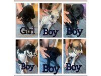 Saluki Collie Greyhound Puppies Ready August