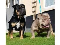 Minibull Puppies Ready Now